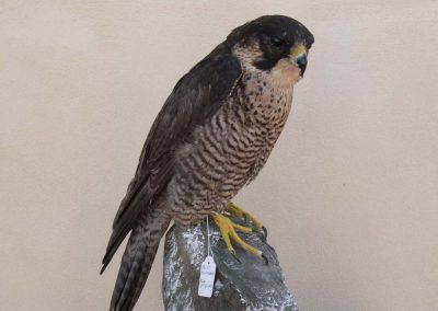 Falco Pellegrino di Capri